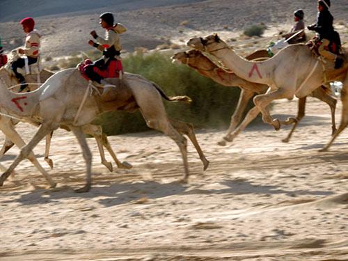 Верблюжьи бега в Дахабе
